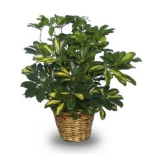 green schefflera plant gift