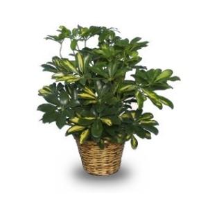 variegated schefflera plant