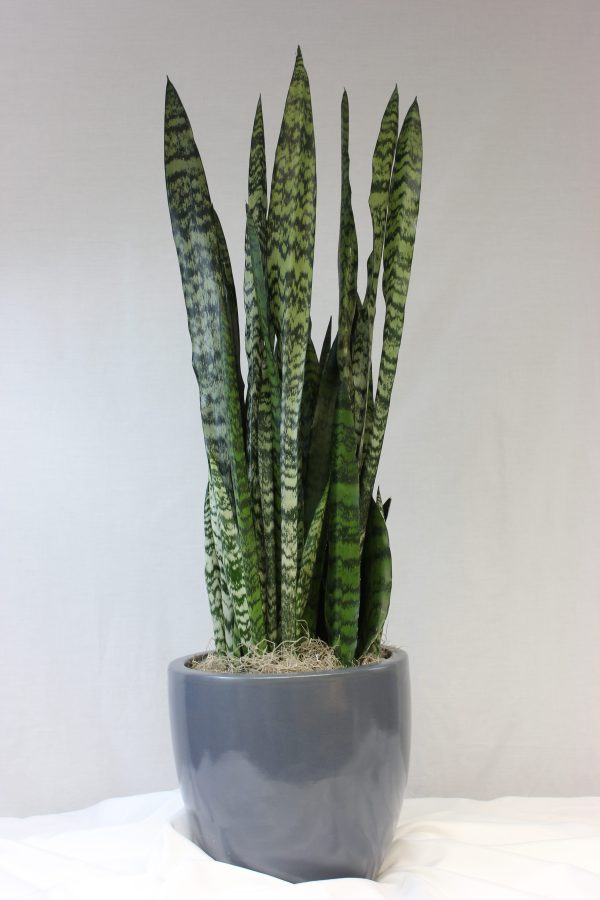 sanseveria wintergreen
