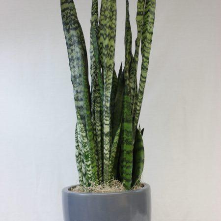 sanseveria wintergreen