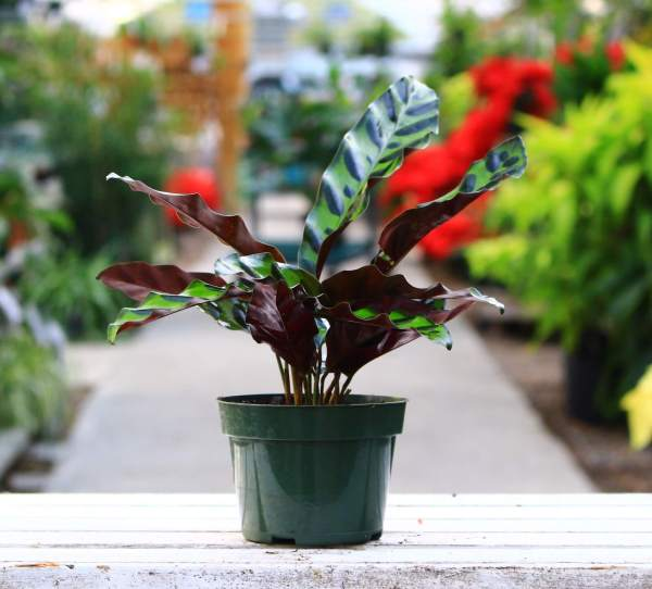 This prayer plant is nicknamed 'Rattlesnake' because of the symmetrical spots on its leaves!