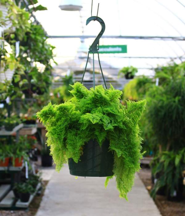 Cotton Candy Ferns grow bright green, curly foliage that is soft to the touch.