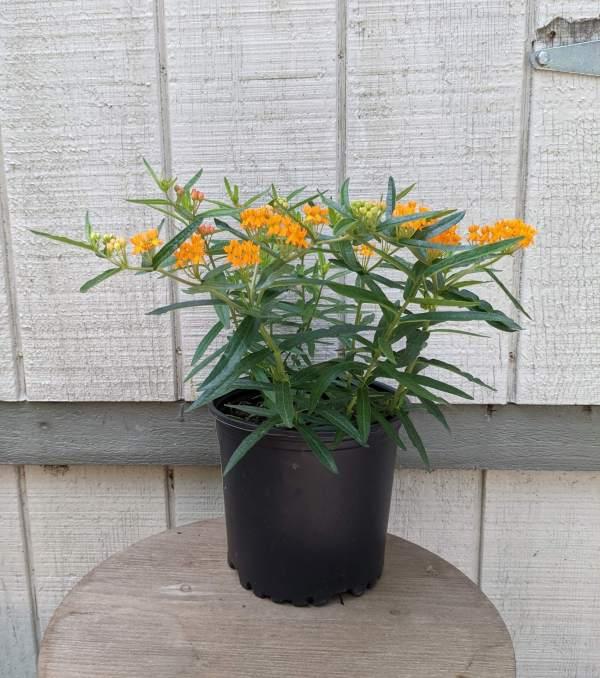 slim dark green leaves and bright orange flowers
