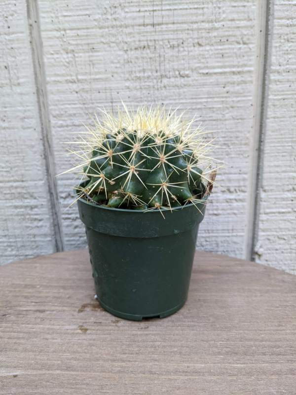 round prickly cactus