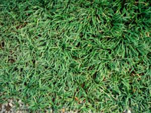 dwarf grass