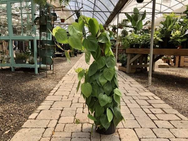 Heart-shaped, dark green leaves, easy care plant