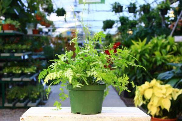 White and green variegated with airy fronds