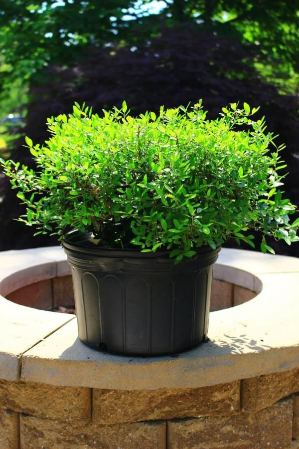 Compact evergreen shrub