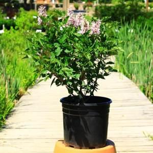Purple buds open to fragrant light purple flowers
