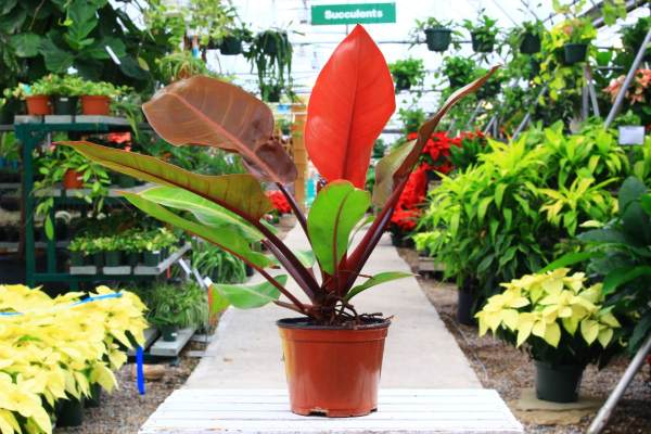leaves orange to red becoming dark glossy green