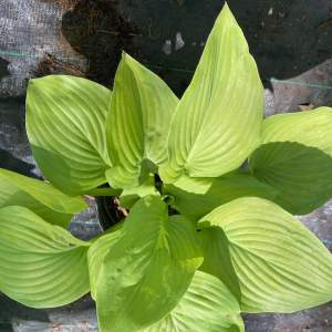 Bright green oval leaves
