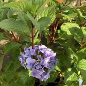 Flower heads on red-purple stems