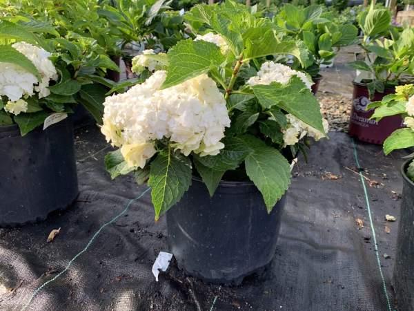 Double white lace cap flowers