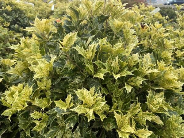 Green leaves w/white, light green