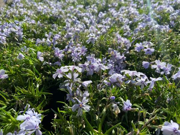 Beautiful blue flowers in early spring.