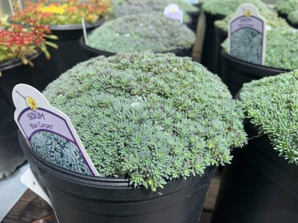 Low growing ground cover