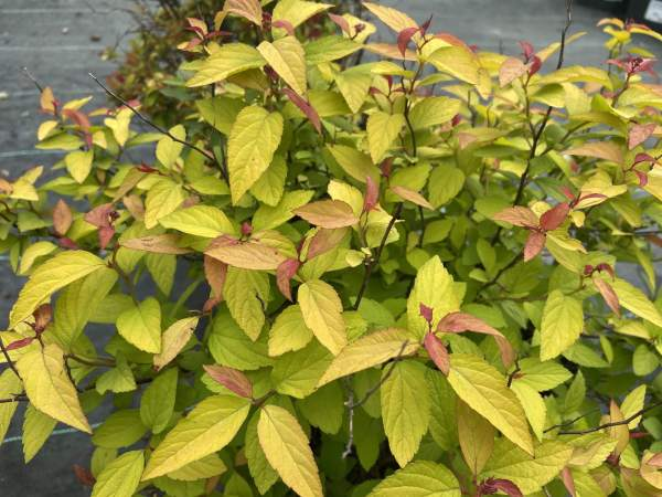 Bronzy-gold to soft yellow foliage