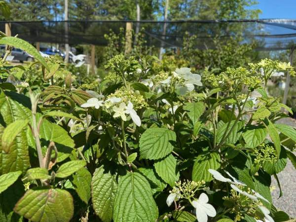 Deciduous shrub, white blooms May-Summer