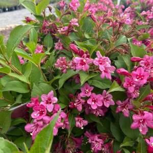 Reblooming shrub, hot pink blooms