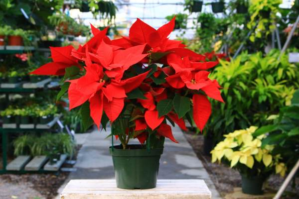 Tropical holiday plant with Red and green leaves.