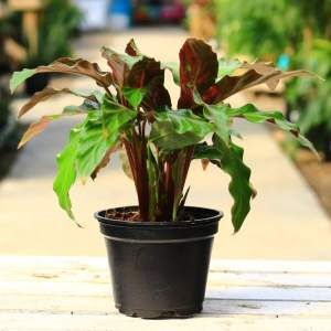 Calathea Rufibarba has fuzzy, rippled leaves that curl upward at night to conserve energy!