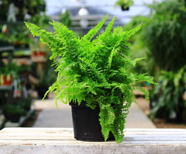 Fluffy Ruffles is a bright green fern with ruffled leaves, perfect for adding a textured look to houseplant arrangements