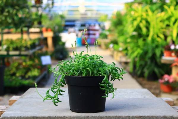 Succulent plant with foliage that looks like small jumping dolphins