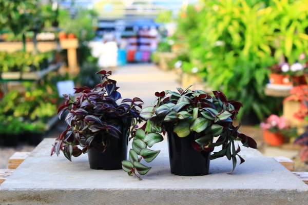 Houseplant with striped green and purple foliage