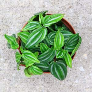 The leaves of this Peperomia look just like little watermelons!