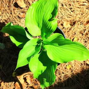 Large hosta with broad light green leaves
