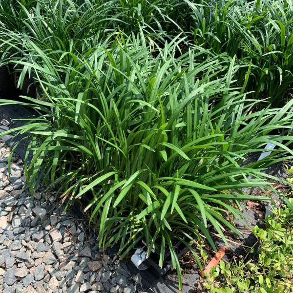 Perennial shrub with long leaves and purple flowers