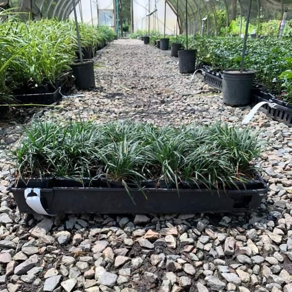 Dwarf variety ground cover, green tapered leaves