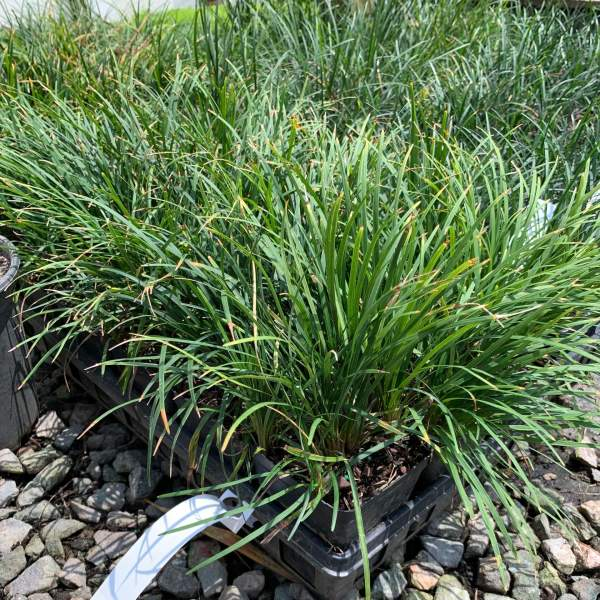 Ground cover, green tapered leaves