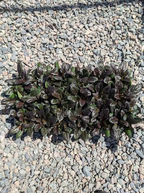 dark green purplish groundcover