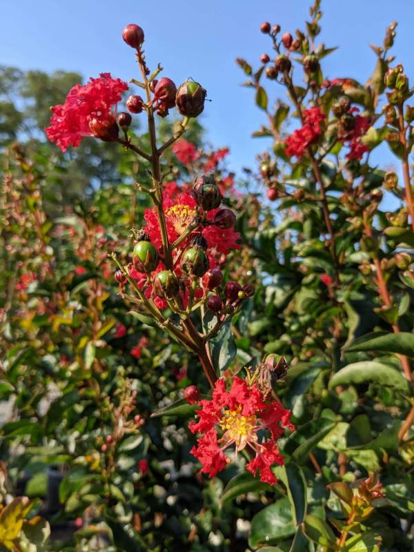 bright scarlet blooms