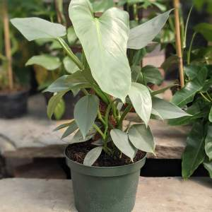 philodendron silver sword has pale green lancelate foliage