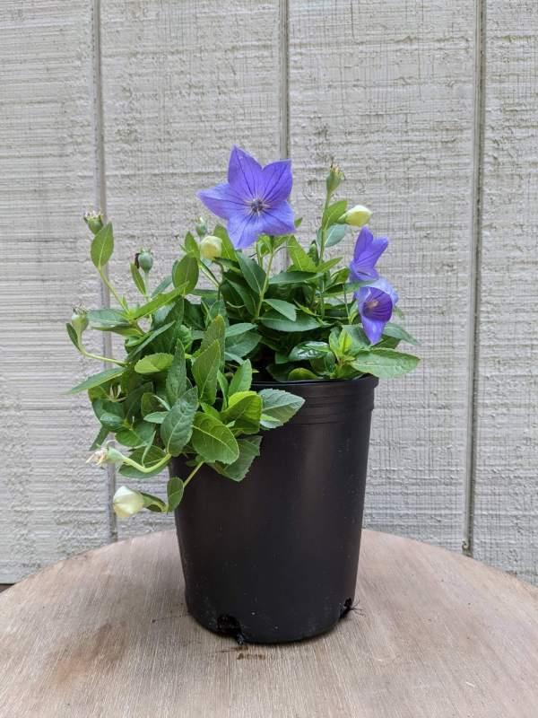 star shaped indigo blue flowers