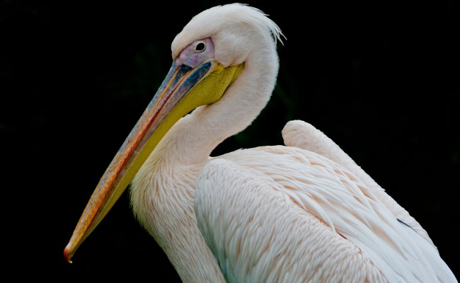 Pelicans Are The Pacific Northwest S Newest Climate