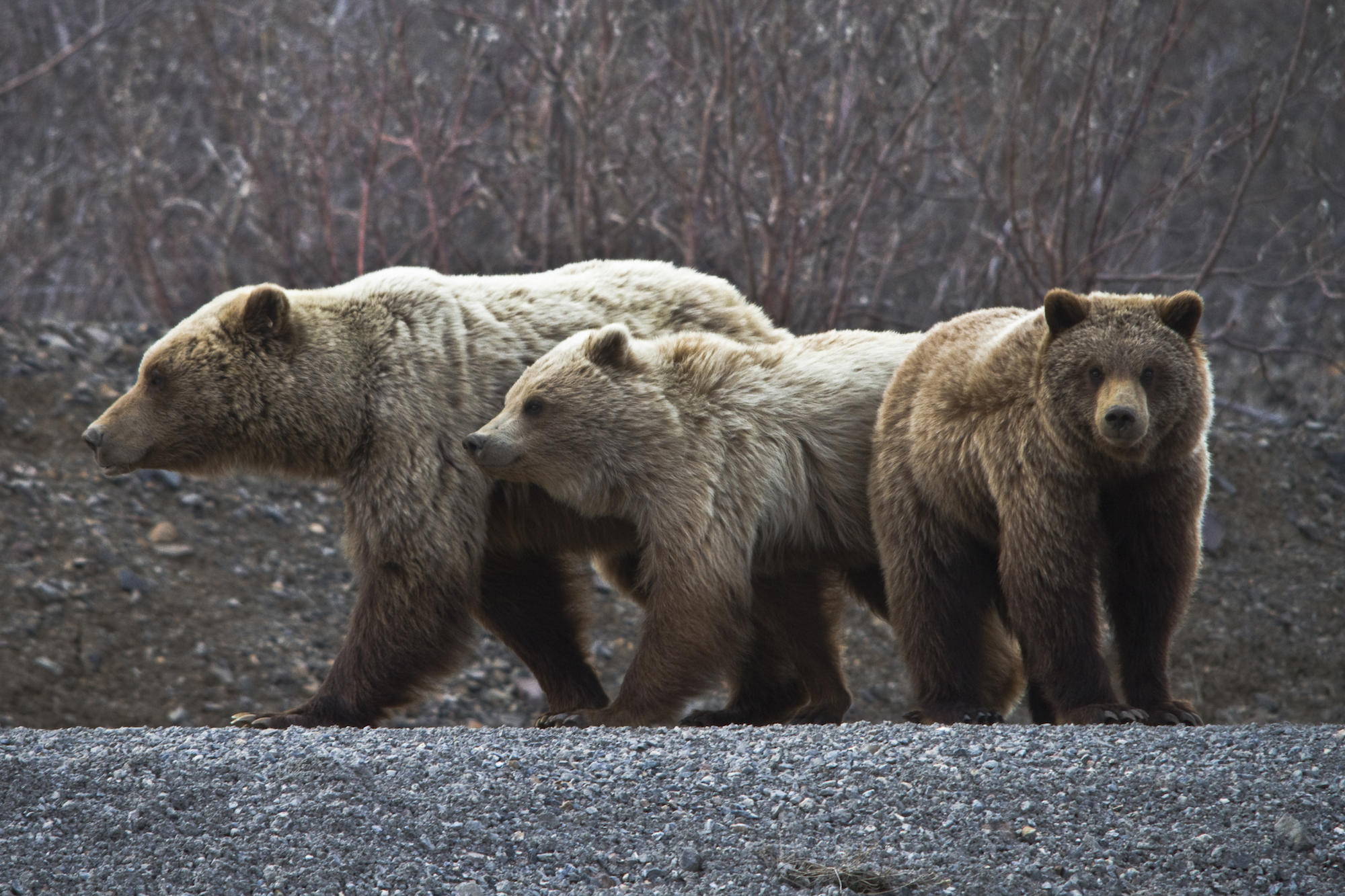 grizzly bears could make