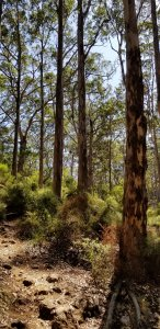 Boranup Karri Forest, Western Australia