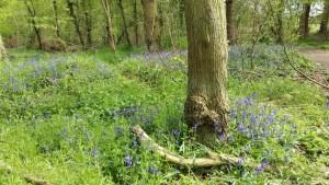 Bluebell Forest in Bedford UK