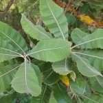 Healing leaves, Brazil