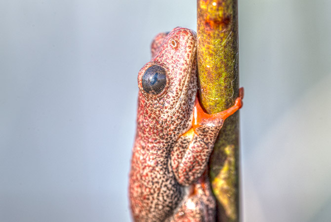 Reed-Frog-2