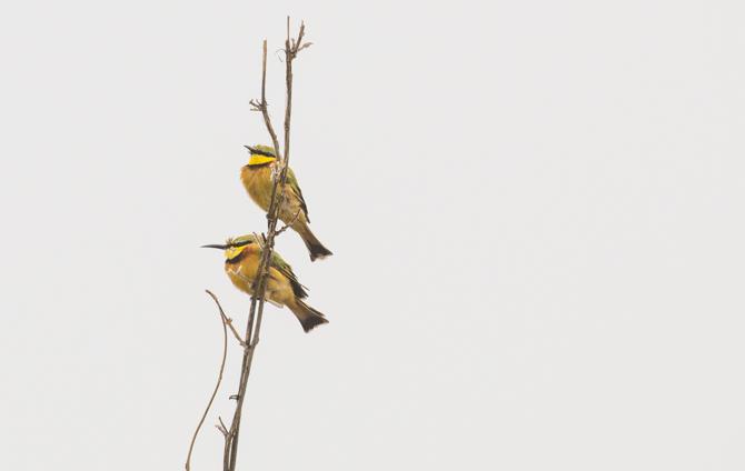 Bee Eater Birds