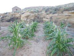 Natwani Coalition image of Hopi farming