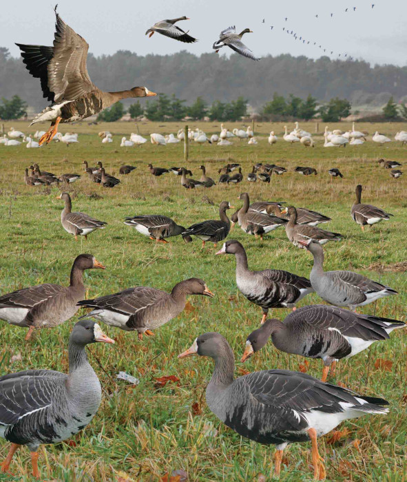 Greater White-fronted Goose Anser albifrons