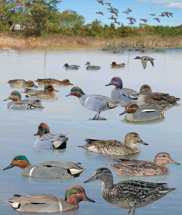 Green-winged Teal Anas crecca