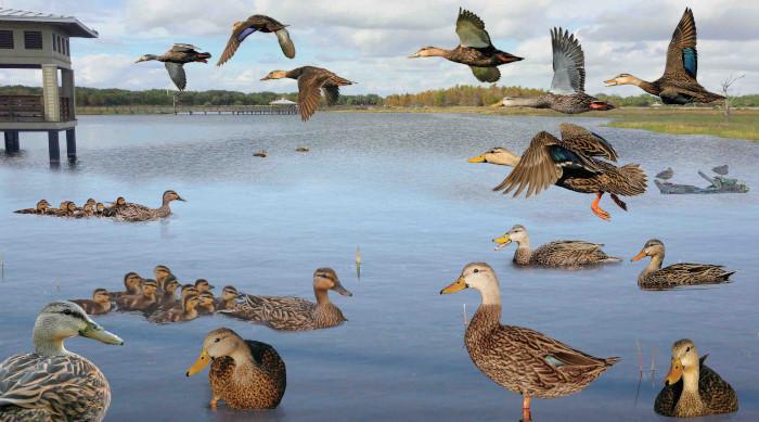 Mottled Duck Anas fulvigula