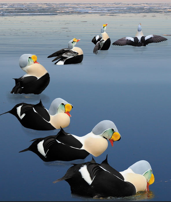 king eider behavior