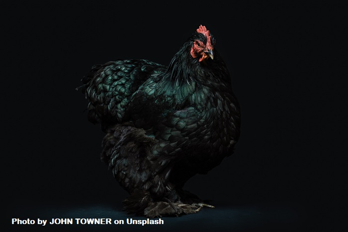 How Does Pain Correlate To Chickens Laying Eggs? A black chicken strikes a stately pose.